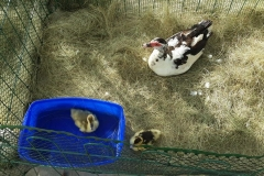 Ducks - mobile farmyard